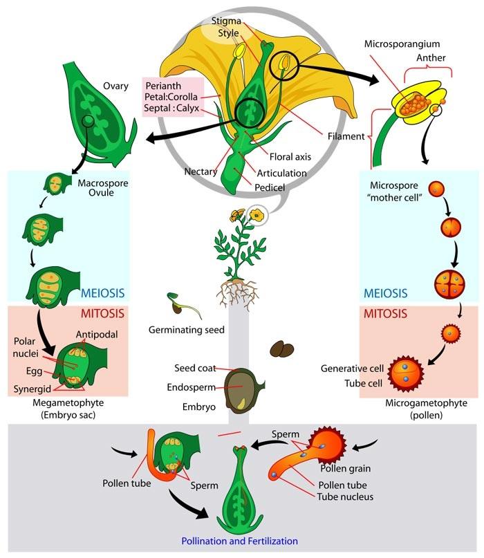 anthophyta plant divisions rh egoexplantis weebly com venus flytrap life cycle diagram Venis Fly Trap Life Cycle